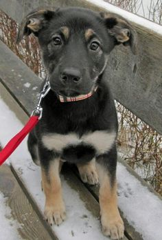 So. Stinking. Cute. German shepherd- lab mix.
