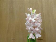 dubbel bloemige hyacint geschikt voor de pot