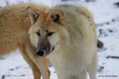 Arctic Wolf / Polarwolf 1 by bluesgrass.deviantart.com on @deviantART