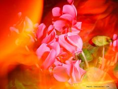 Illusion - without Photoshop Illusions, My Photos, Photoshop, Rose, Flowers, Plants, Pictures, Pink, Plant