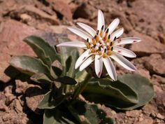 Pa 6296 Perezia bellidifolia