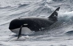 One of seven currently known records of killer whales Orcinus orca type D: near the Crozet Islands, a sub-antarctic archipelago in the southern Indian Ocean (P. Tixier via Robert L. Pitman et al., 2011)