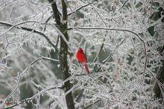 i love cardinals in winter...