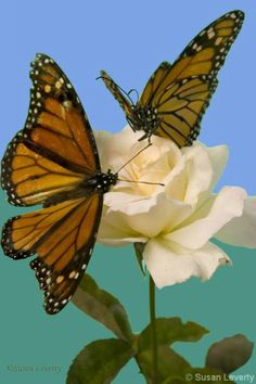 Monarch Butterflies Migrate to Mexico via California by the millions. Can be seen clinging to specific groves of trees in Pacific Grove and Pismo Beach.