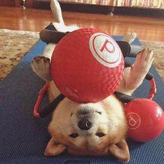 Yoga and Pilates sunday fun day to keep my furbody staying fit and curby #shibastagram #fun #dogsandpals #shiba #dog #cute #dogsofinstagram #dogsofindonesia #shibastagram #cute #fashion #jakarta #puppy #anjingdijual #lacyandpaws #love #dog #kawai #doge #friends #dogoftheday #shibalove #instanice #puppy #dogsandpals #silly #dog#saturdays #play #weekend #akita#christmas #xmas #indonesia #january #2016 by notsteveaoki