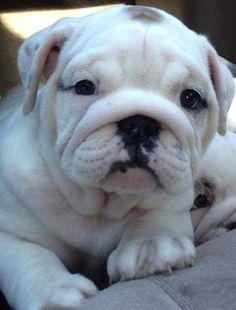 We want a bulldog! Puppies And Kitties, Baby Puppies, Cute Puppies, Cute Dogs, Fluffy Animals, Animals And Pets, Baby Animals, Cute Animals, English Bulldog Puppies