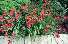 Schizostylis Coccinea 'Major' Bog Plant