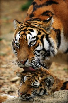 ~~Mother's Love ~ tigress lovingly grooms her cub by Bobby McLeod~~
