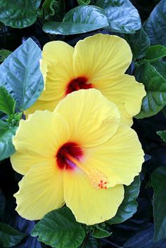 ✯ Beautiful Hibiscus