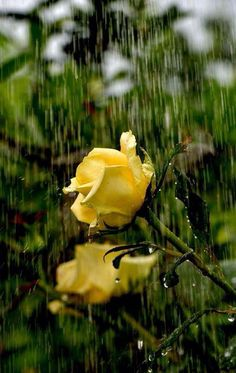yellow roses in rain