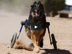 German Shepherd - Walkin Wheels Dog Wheelchair on Vimeo