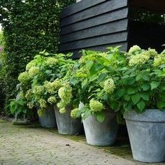 Concrete Garden Potted Hydrangea To be able to have a great Modern Garden Decoration, it is helpful to be available … Hydrangea Potted, Green Hydrangea, Bobo Hydrangea, White Hydrangeas, Potted Plants, Annabelle Hydrangea, Potted Trees Patio, Potted Flowers, Garden Paths