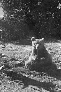 Wojtek, the Soldier Bear Battle Of Monte Cassino, Animals And Pets, Cute Animals, Bear Cubs, Bears, Military Working Dogs, Cute Animal Pictures, Service Dogs, Military History