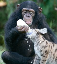 The chimp raising the Puma, she has already raised two baby white tigers!