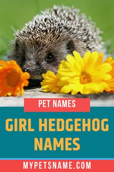 Espinet, after the fictional, pink hedgehog from 'Barrio Sésamo', which was the Spanish version of 'Sesame Street' would make a great name for your little female hedgehog. Check out more girl hedgehog names in our list here. Hedgehog Names, Hedgehog Pet, Cute Hedgehog, Funny Names, Cute Names, Girl Pet Names, Norse Names, Happy Names, German Names