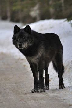 Funny Wildlife, Wolf by ~Schpakowski Coyotes, Beautiful Creatures, Animals Beautiful, Black Coyote, Canis Lupus, Wolf World, Wolf Husky, Howl At The Moon, Wolf Love