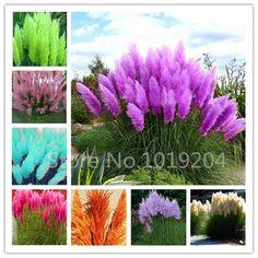 1000 Pc/paquet PAMPAS HERBE graines, rare violet reed graines de fleurs pour la maison jardin plantation