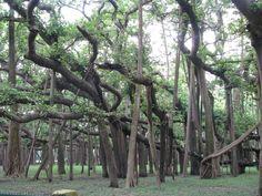 india-kolkata-great-banyan-tree-1
