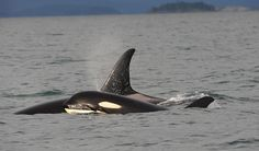 3 year old J49 T'ilem I'nges with mom J37 Hy'Shqa in December 2015 PC to DAG, Center for Whale Research
