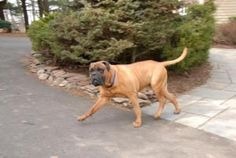 Oakley is an adoptable Bullmastiff Dog in Pottersville, NJ. MATT DAMON So, OK, that's not really my name.but somewhere between the Justin Biebers and the Viagra generation are some super handsome, nic...