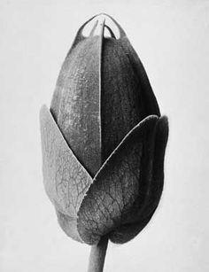 Blossfeld, Passiflora, 1895 circa