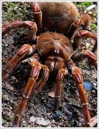 """Résultat de recherche d'images pour """"araignée goliath mangeuse d'oiseaux"""" Animals, Coups, Spiders, Images, Shape, Search, Spinning, Animales, Animaux"""