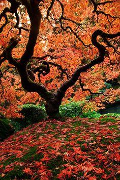 Famous tree in Portland, Oregon's Japanese Gardens