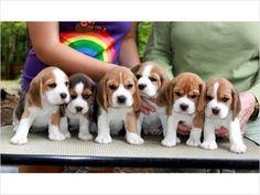 cute x 6 #beagle