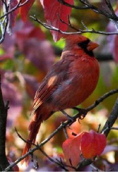 Cardinal in its glory All Birds, Love Birds, Pretty Birds, Beautiful Birds, State Birds, Cardinal Birds, All Nature, Backyard Birds, Colorful Birds