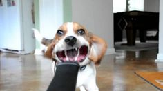 Beagle Dog - 38 Pictures