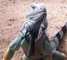 Mauritian lizard