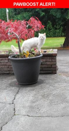 Please spread the word! Olaf was last seen in Blaine, WA 98230.  Description: Large, neutered male flame point Siamese mix. Long bushy tail. Beautiful blue eyes  Nearest Address: Stadsvold Road, Blaine, WA, United States