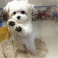 What    breed of dog is a #maltese? Facts and Pictures