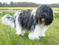 Dutch Sheepdog (Schapendoes)- friendly, high spirited, and affectionate. He is not a guard dog or aggressively protective, and if properly socialised while young, would most likely make a good family dog, as well as a good dog for active sports. Lively and intelligent dogs must receive regular training and outings.