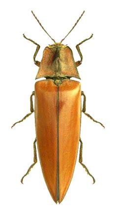 Campsosternus candezei
