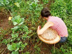 colheita de tomate na horta santa inês :: o tomate estava muito maduro, nas últimas mesmo. tivemos que escolher com cuidado. de quebra, estava super doce!