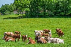 Check out Cows by ChristianThür Photography on Creative Market Pet Portraits, Dog Food Recipes, Portrait Photography, Cow, Christian, Pets, Creative, Animals Photos, Check