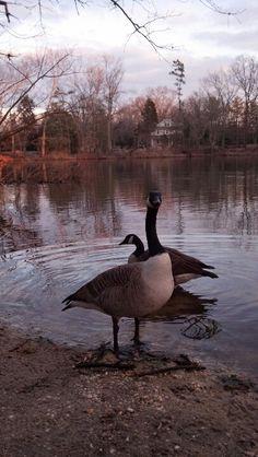Geese at Parvins