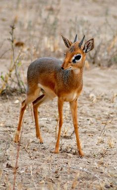 Dik-dik (male) -Tarangire National Park,Tanzania