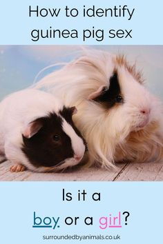 Always double check the sex of your guinea pig. Make sure you know whether you've got a girl or a boy guinea pig. We'll show you how. Guinea Pig Run, 1 Month Olds, Happy Animals, Pet Shop, How To Find Out, Pets, Check, Pet Store