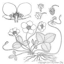 cartoon clipart of an outlined strawberry plant with blossoms