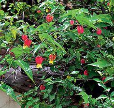 A lanterninha-japonesa floresce durante todo o ano, mas é intensa na primavera e no verão. Escala cercas e treliças com condução, amparando sua ramagem. Cresce até 3 m de altura e pede sol pleno e podas anuais