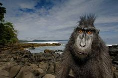 Sulawesi Black-Crested Macaque...  Old World monkey that lives in the Tangkoko reserve, northeast of the Indonesian island of Sulawesi (Celebes),  Photo by Stefano Unterthiner/Wildlife Photographer of the Year 2008 via Guardian