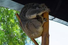 Sleepy Koala 1 Photograph by Naomi Burgess #koala #animals #photography