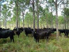 """Silvopasture. Very interesting. """"Regardless of the species of forage plants, trees or livestock, principle of silvopasturing remain the same: each is managed together in a symbiotic, synergistic and sustainable system."""""""