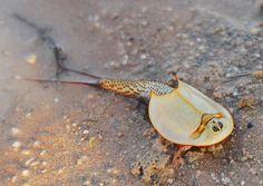 A 'living fossil', Shield shrimp (Triops australiensis) Weird Sea Creatures, Prehistoric Creatures, Ocean Creatures, Fantasy Creatures, Zoo Animals, Animals And Pets, Cute Animals, Living Fossil, Aliens