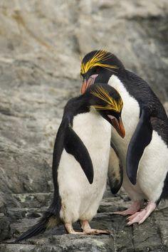 Macaroni Penguins (Eudyptes chrysolophus) by Ralph Lee Hopkins Beautiful Birds, Animals Beautiful, Cute Animals, Artic Animals, Wild Animals, Penguin Love, Cute Penguins, Wild Creatures, All Gods Creatures