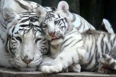 Mother tiger Surya Bara with one her cubs - Slavek Ruta/REX/Shutterstock