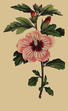 83. Hibiscus Syriacus. Syrian Hibiscus - arts and crafts theme