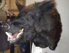 Boar Hog Hunting, Goats, Animals, Animales, Animaux, Animal, Animais, Goat
